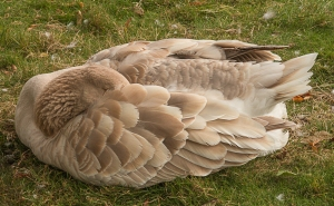 Halifax Public Gardens goose
